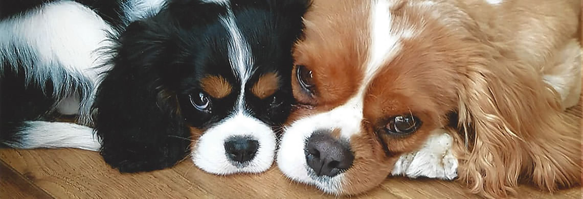 Photo of 2 Cavaliers laying close together